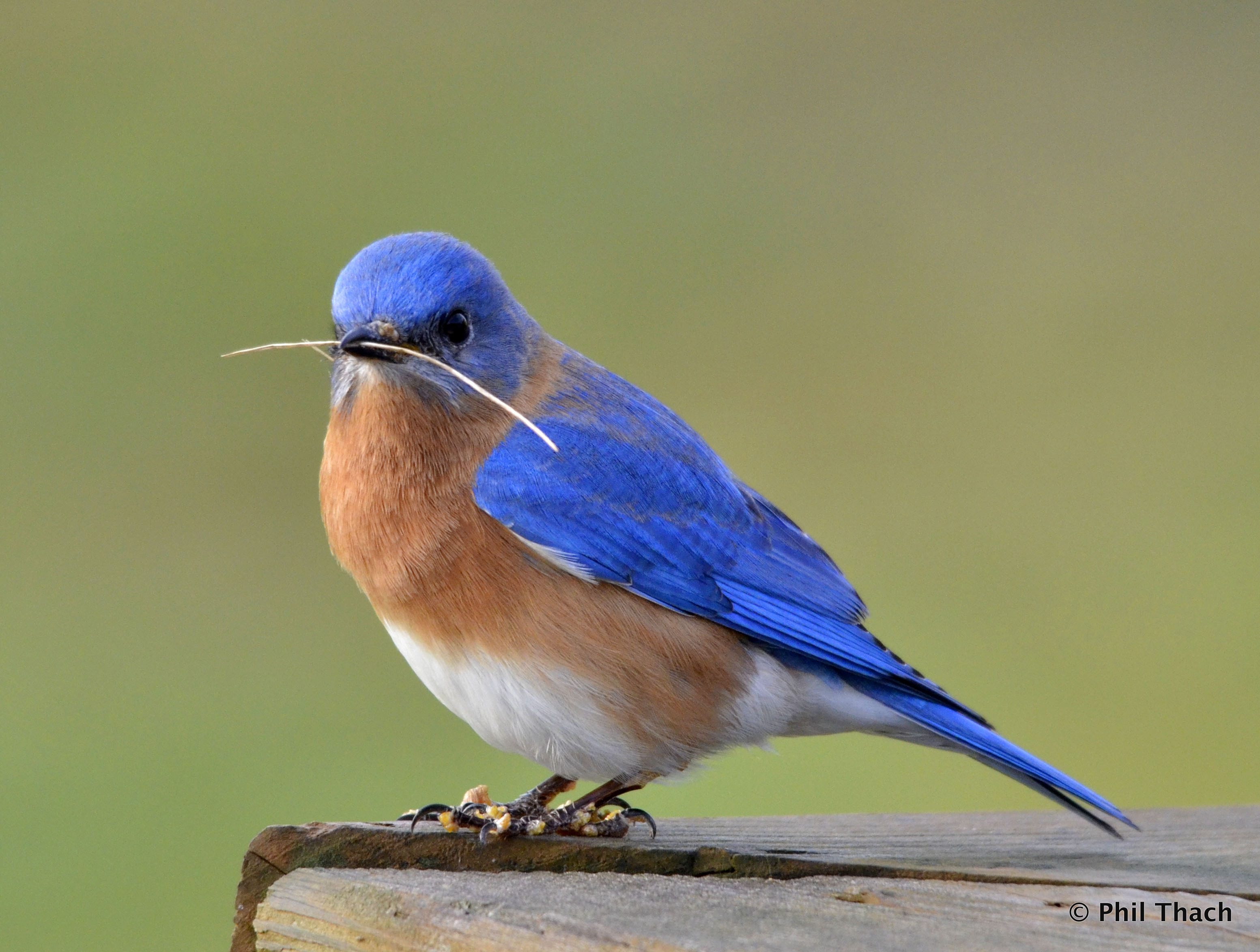 HQ Eastern Bluebird Wallpapers | File 803.9Kb