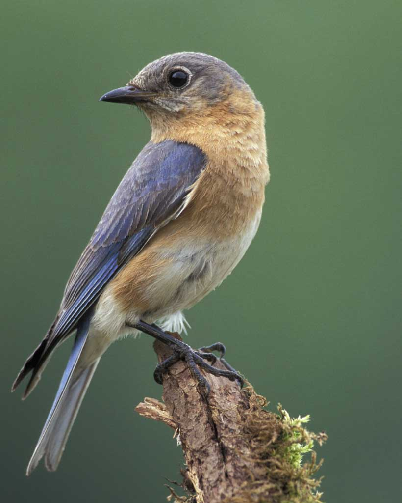 Eastern Bluebird Backgrounds on Wallpapers Vista