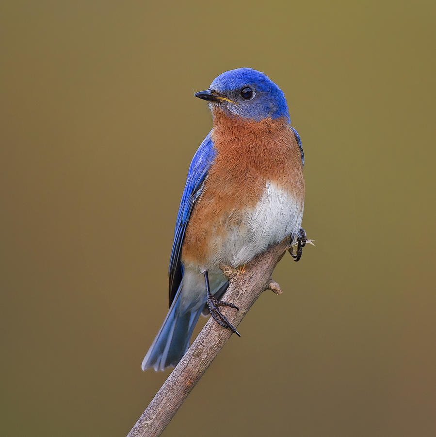 Images of Eastern Bluebird | 899x900