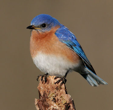 Nice wallpapers Eastern Bluebird 373x363px
