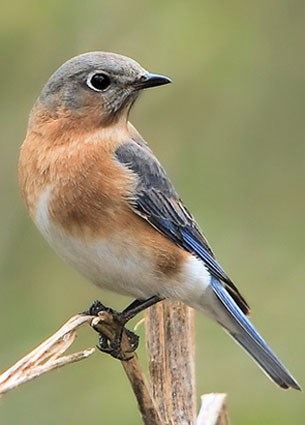 Eastern Bluebird High Quality Background on Wallpapers Vista