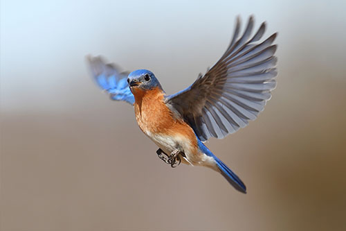 Nice Images Collection: Eastern Bluebird Desktop Wallpapers
