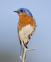 Amazing Eastern Bluebird Pictures & Backgrounds