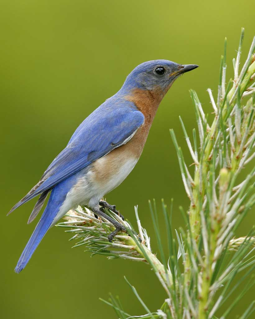 Eastern Bluebird Backgrounds, Compatible - PC, Mobile, Gadgets| 820x1024 px