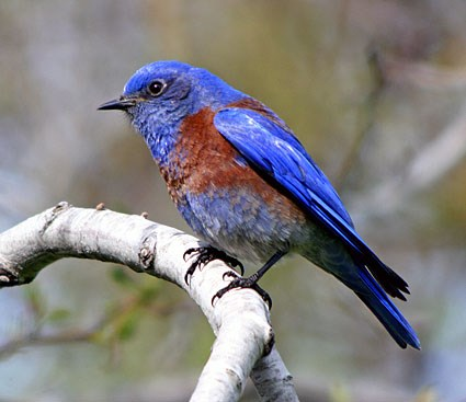 Eastern Bluebird Backgrounds, Compatible - PC, Mobile, Gadgets| 425x367 px