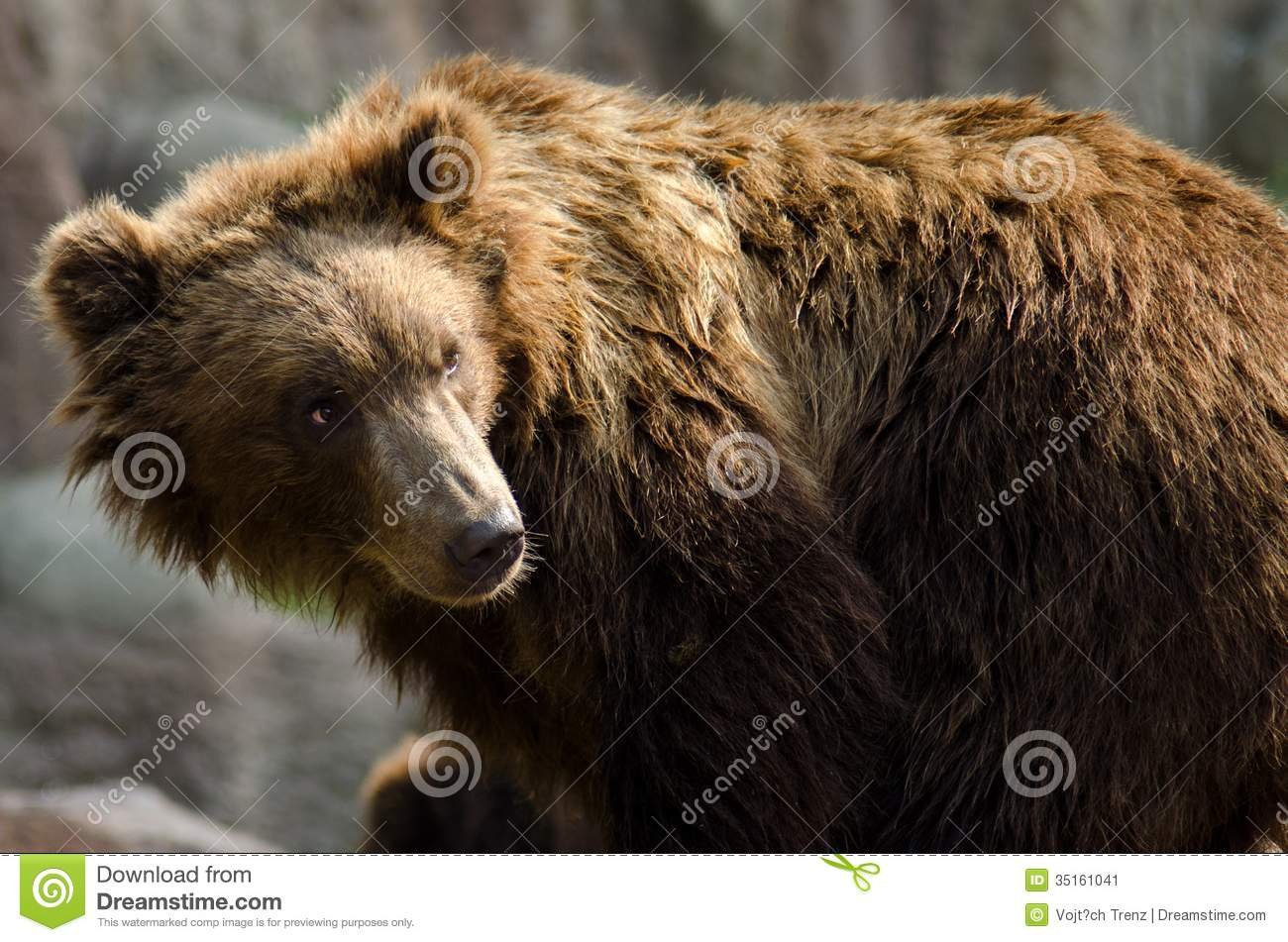Nice Images Collection: Eastern Brown Bear Desktop Wallpapers