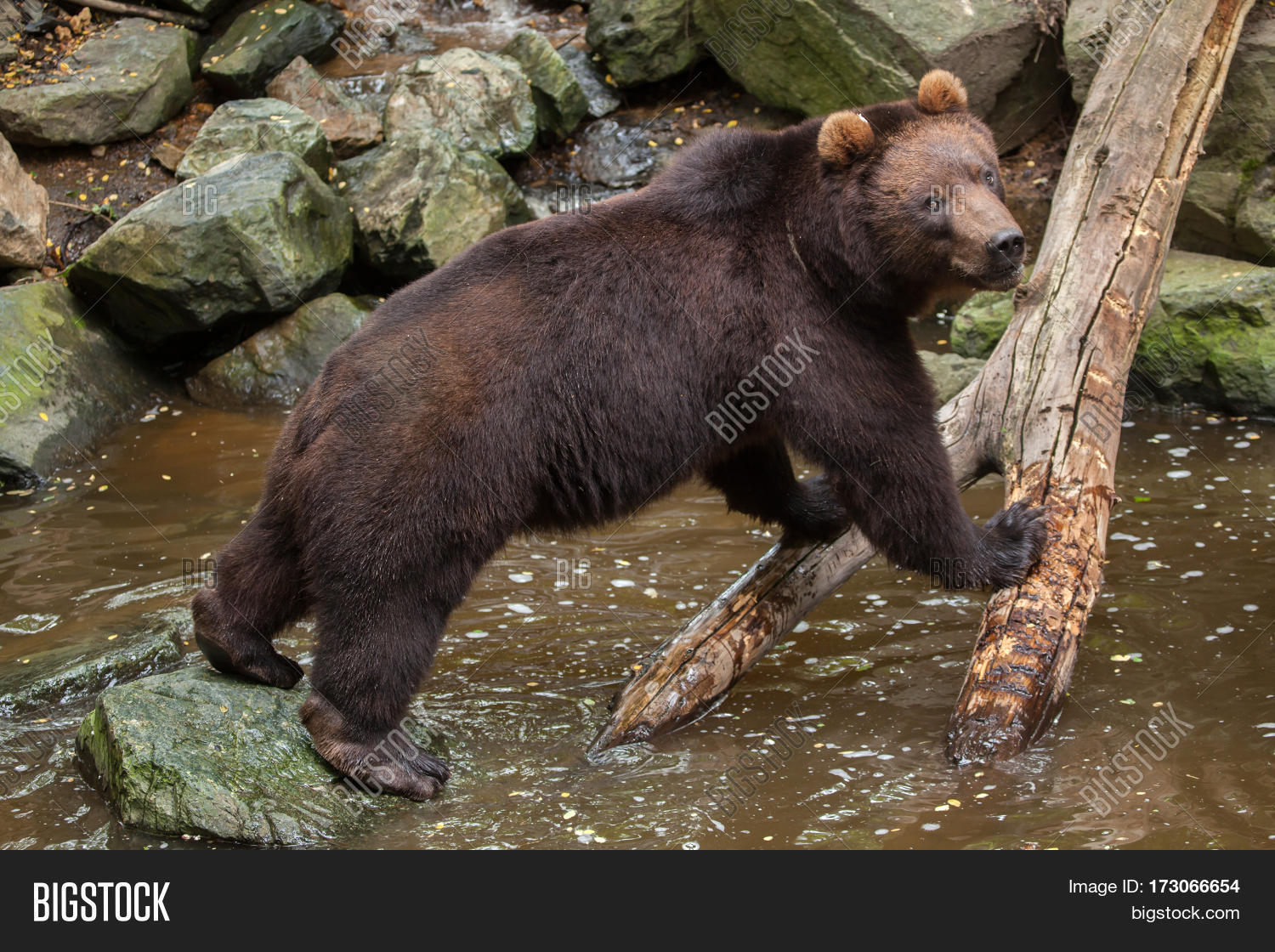 Eastern Brown Bear Backgrounds, Compatible - PC, Mobile, Gadgets| 1500x1120 px