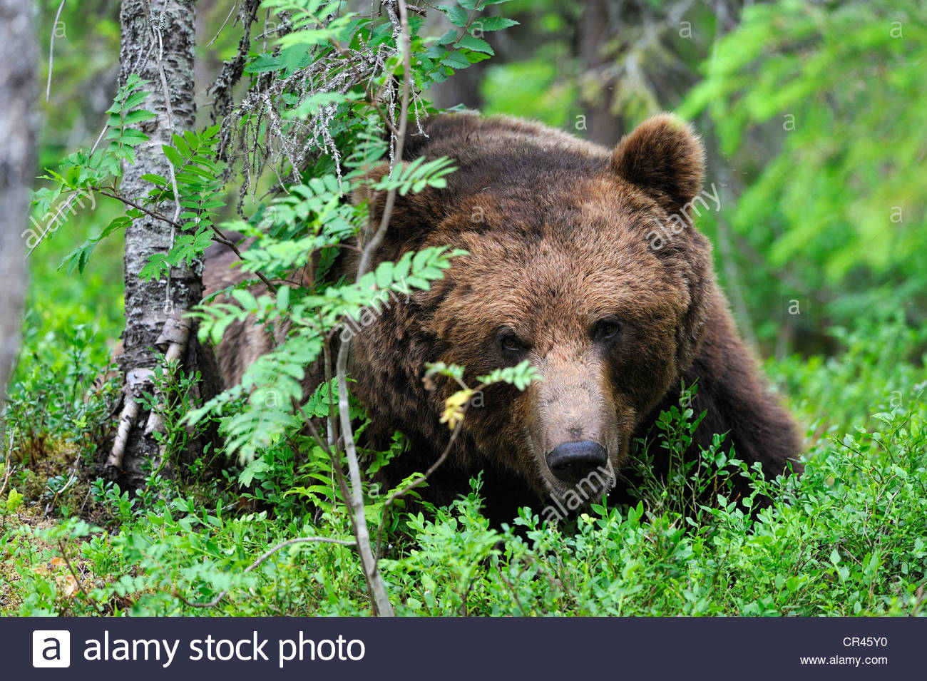 Eastern Brown Bear #4