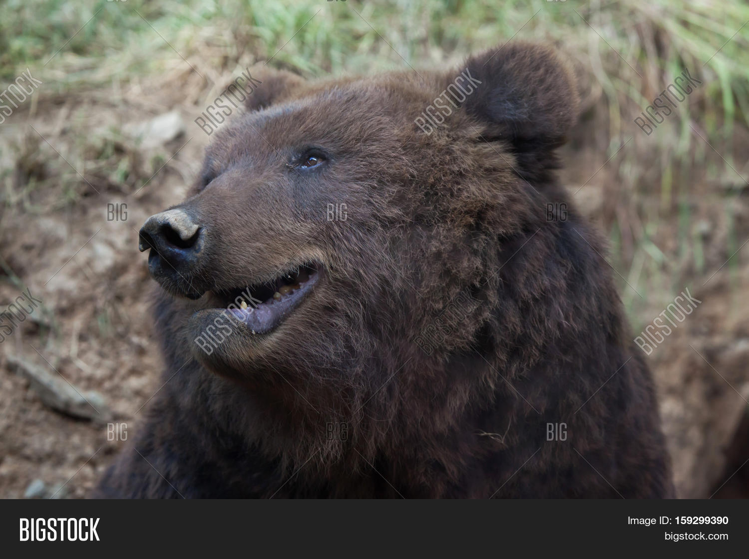 HD Quality Wallpaper | Collection: Animal, 1500x1120 Eastern Brown Bear
