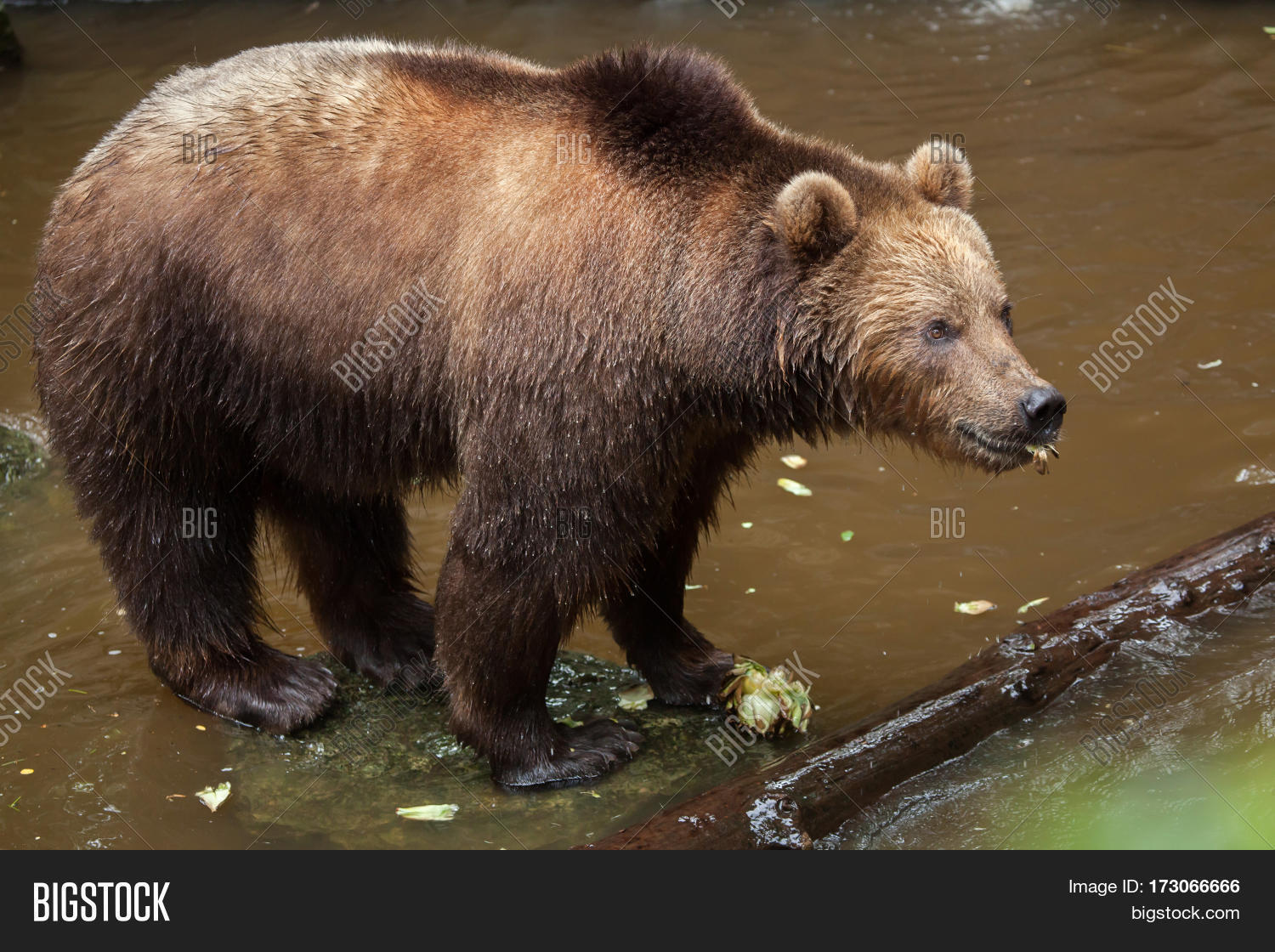Amazing Eastern Brown Bear Pictures & Backgrounds