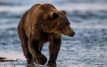 HD Quality Wallpaper | Collection: Animal, 350x219 Eastern Brown Bear