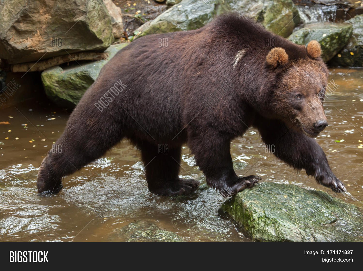 Images of Eastern Brown Bear | 1500x1120