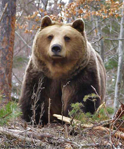 Images of Eastern Brown Bear | 404x485