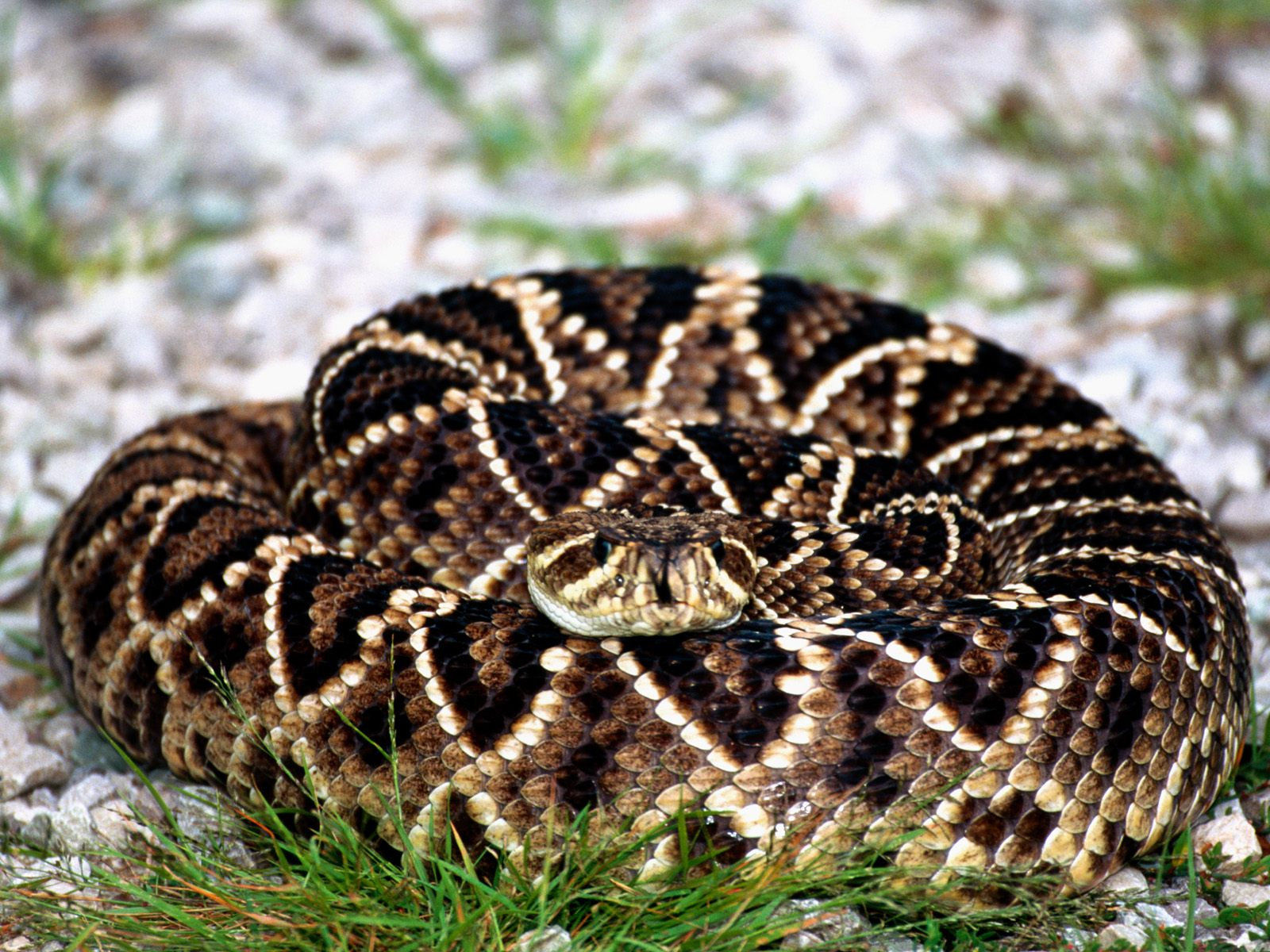 HQ Eastern Diamondback Rattlesnake Wallpapers | File 382.61Kb