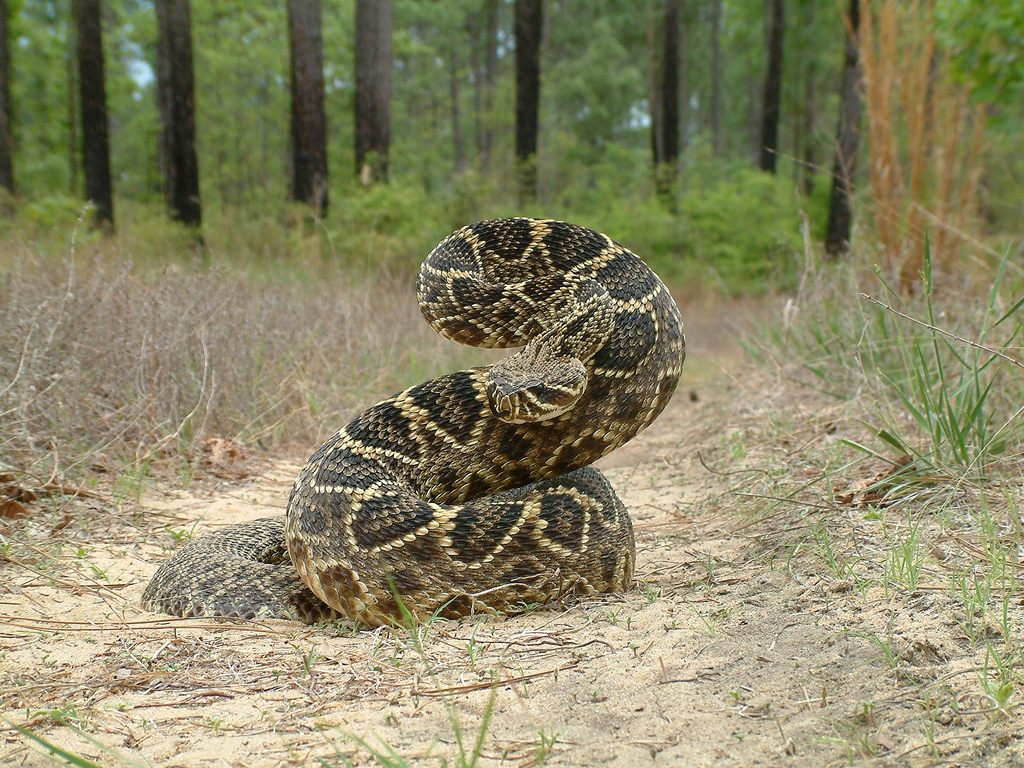 HQ Eastern Diamondback Rattlesnake Wallpapers | File 627.6Kb