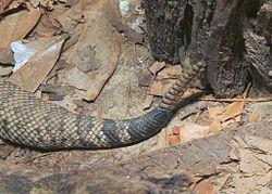 Eastern Diamondback Rattlesnake High Quality Background on Wallpapers Vista