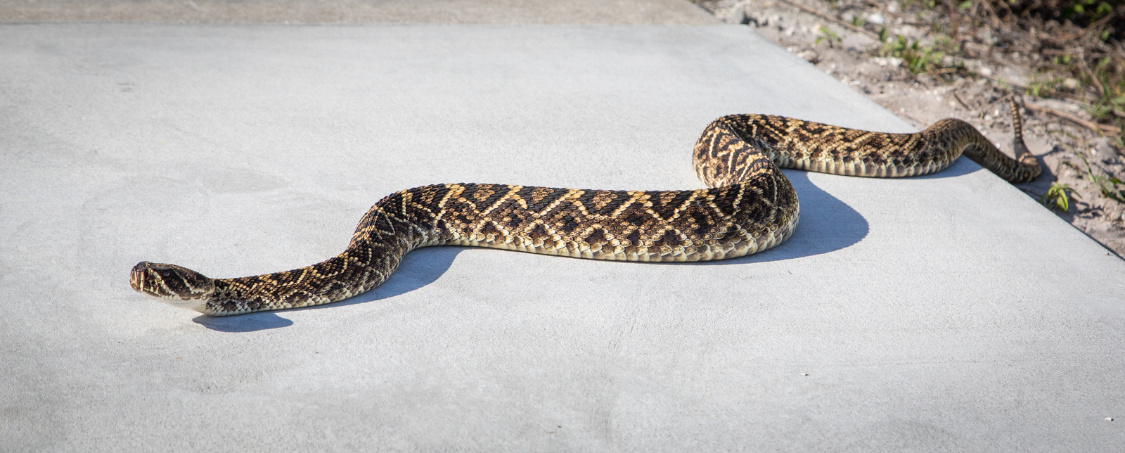 Eastern Diamondback Rattlesnake Backgrounds, Compatible - PC, Mobile, Gadgets| 1600x644 px