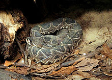 Nice Images Collection: Eastern Diamondback Rattlesnake Desktop Wallpapers