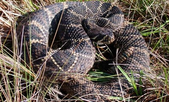Nice wallpapers Eastern Diamondback Rattlesnake 345x210px