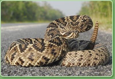 Eastern Diamondback Rattlesnake Backgrounds on Wallpapers Vista