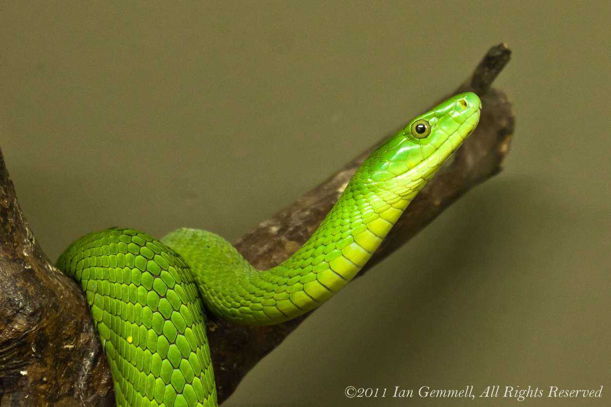 1253x835 > Eastern Green Mamba Wallpapers