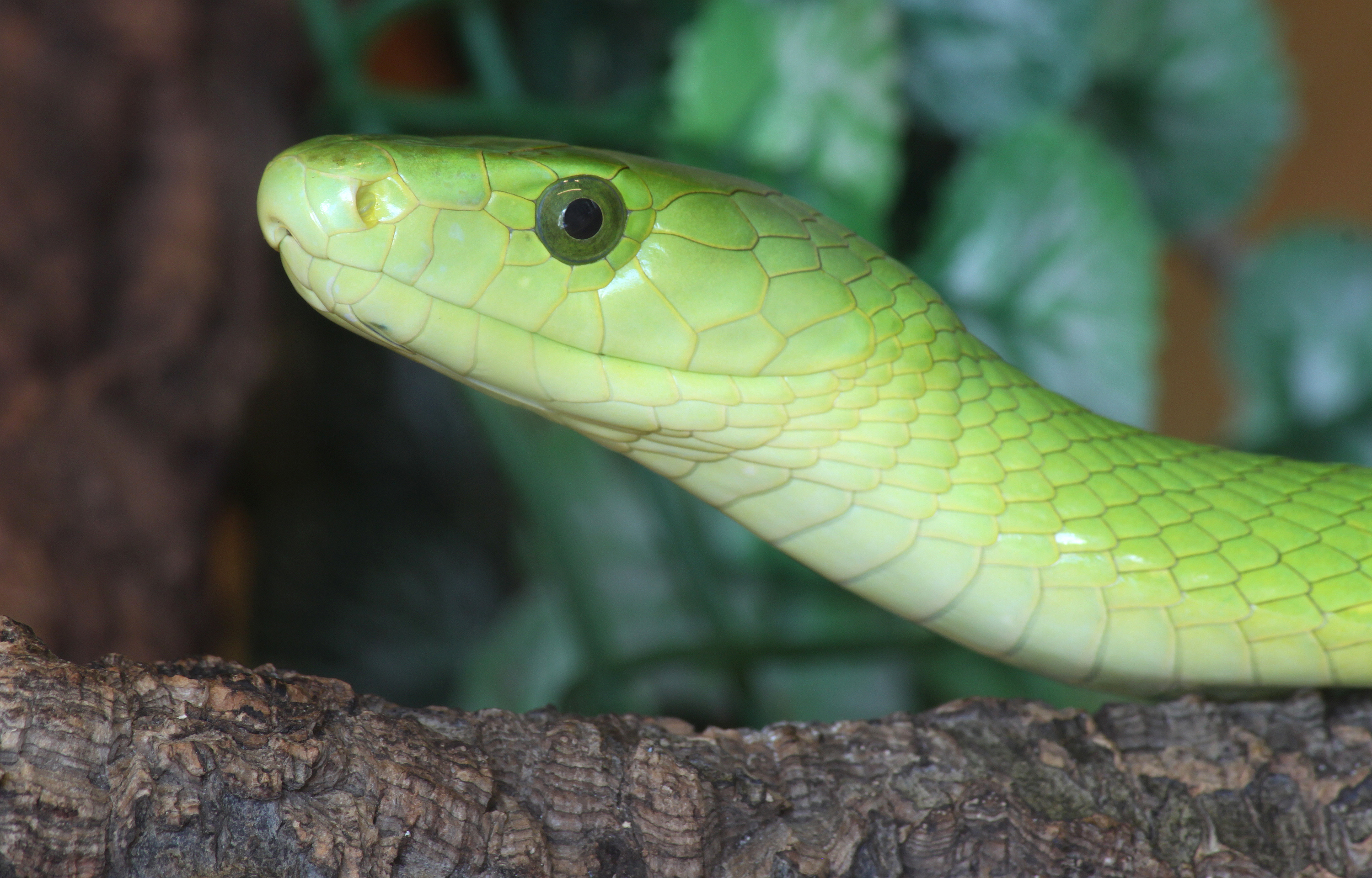Amazing Eastern Green Mamba Pictures & Backgrounds