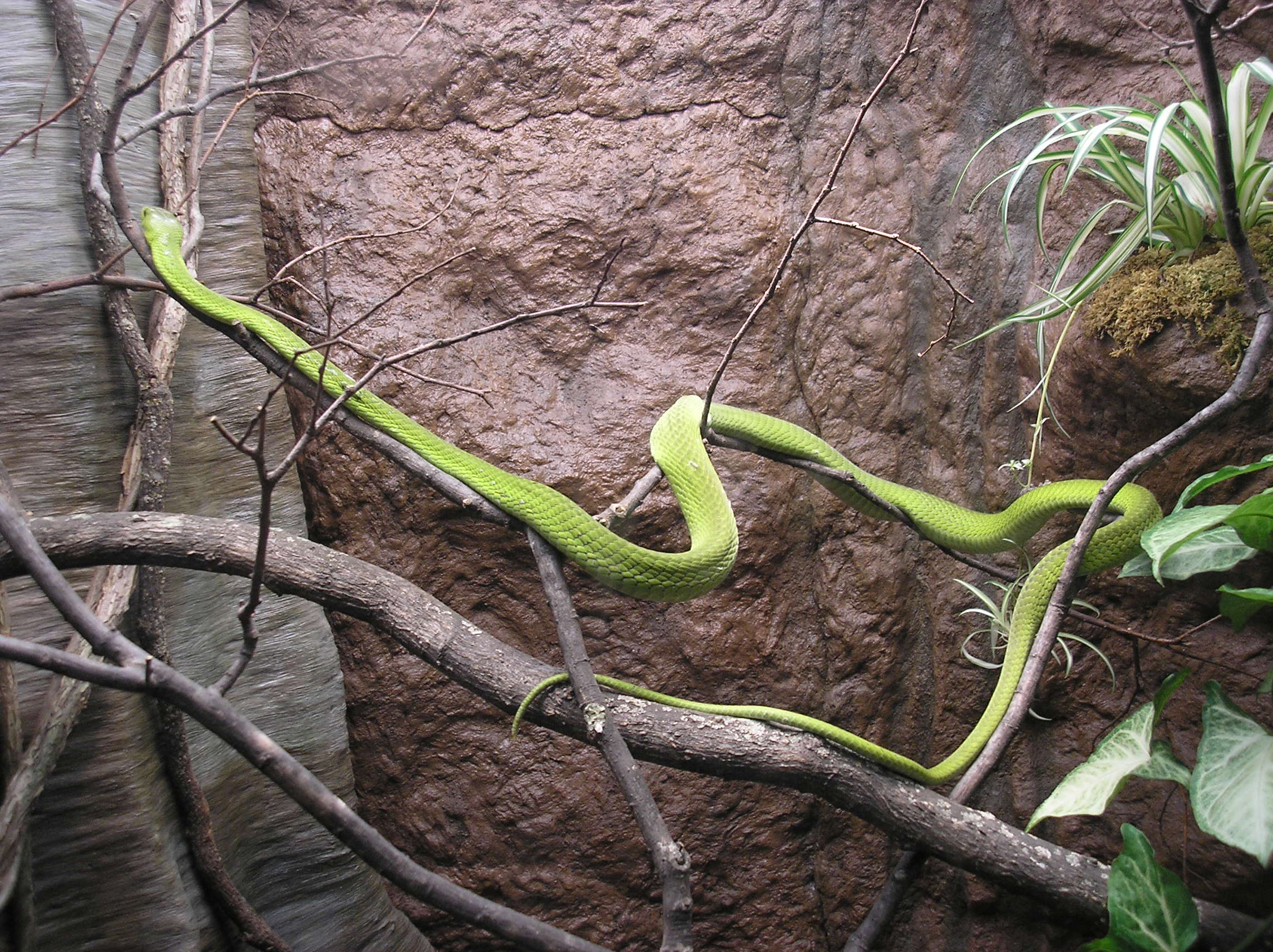 Images of Eastern Green Mamba | 2288x1712