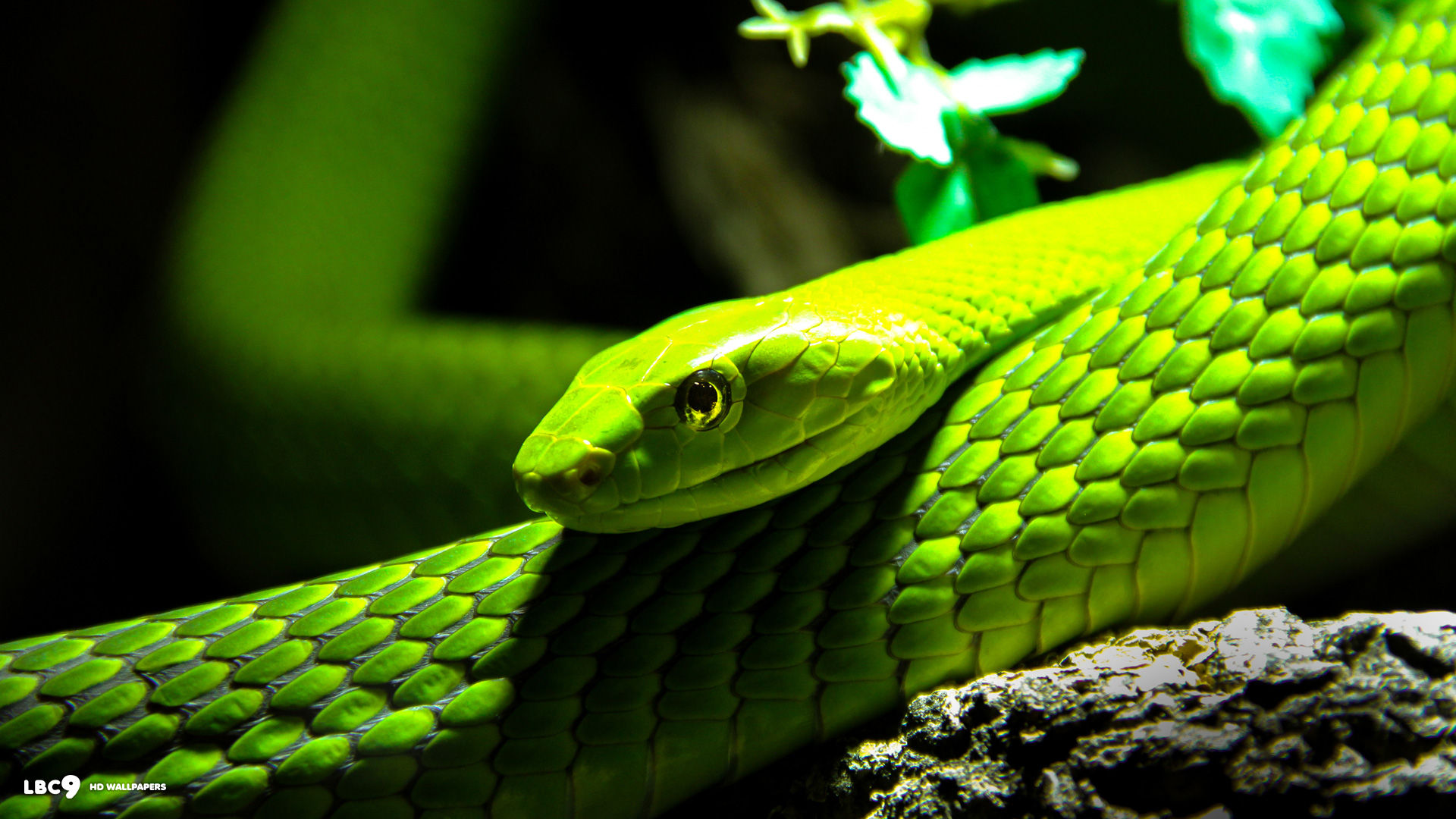 1920x1080 > Eastern Green Mamba Wallpapers