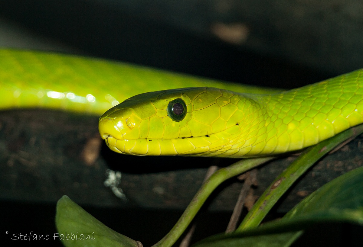 High Resolution Wallpaper | Eastern Green Mamba 1200x818 px