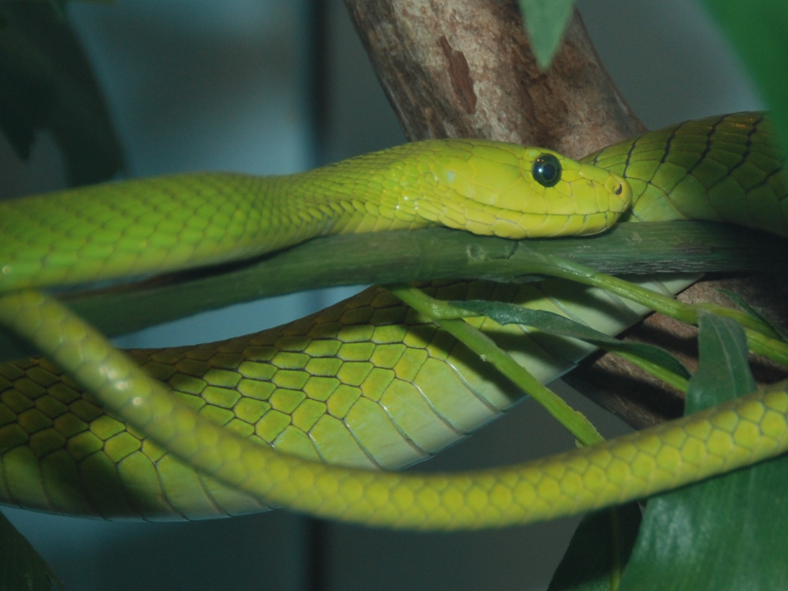 HD Quality Wallpaper | Collection: Animal, 1588x1191 Eastern Green Mamba