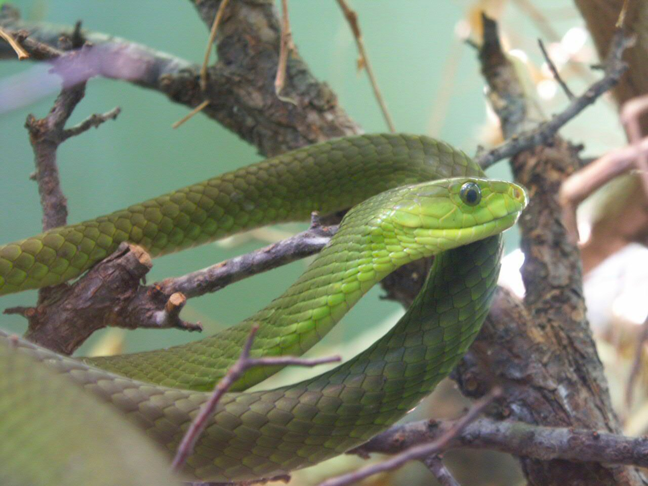 HQ Eastern Green Mamba Wallpapers | File 165.23Kb