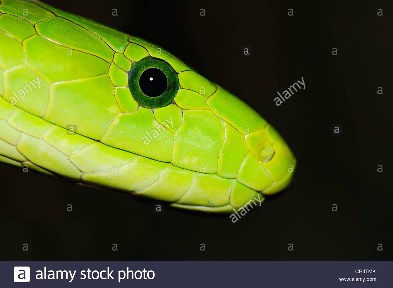 Eastern Green Mamba Pics, Animal Collection