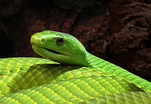 High Resolution Wallpaper | Eastern Green Mamba 220x151 px