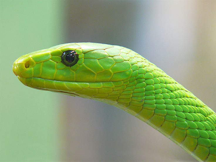 Eastern Green Mamba Backgrounds, Compatible - PC, Mobile, Gadgets| 736x552 px