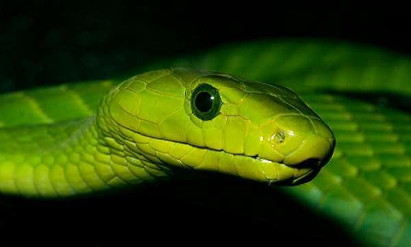 Eastern Green Mamba Backgrounds on Wallpapers Vista