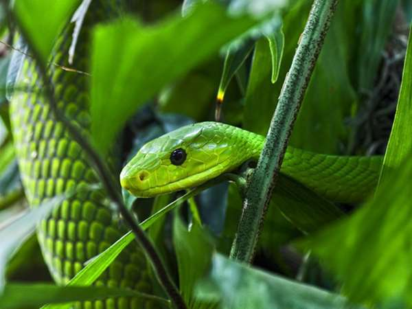 HQ Eastern Green Mamba Wallpapers | File 28.14Kb