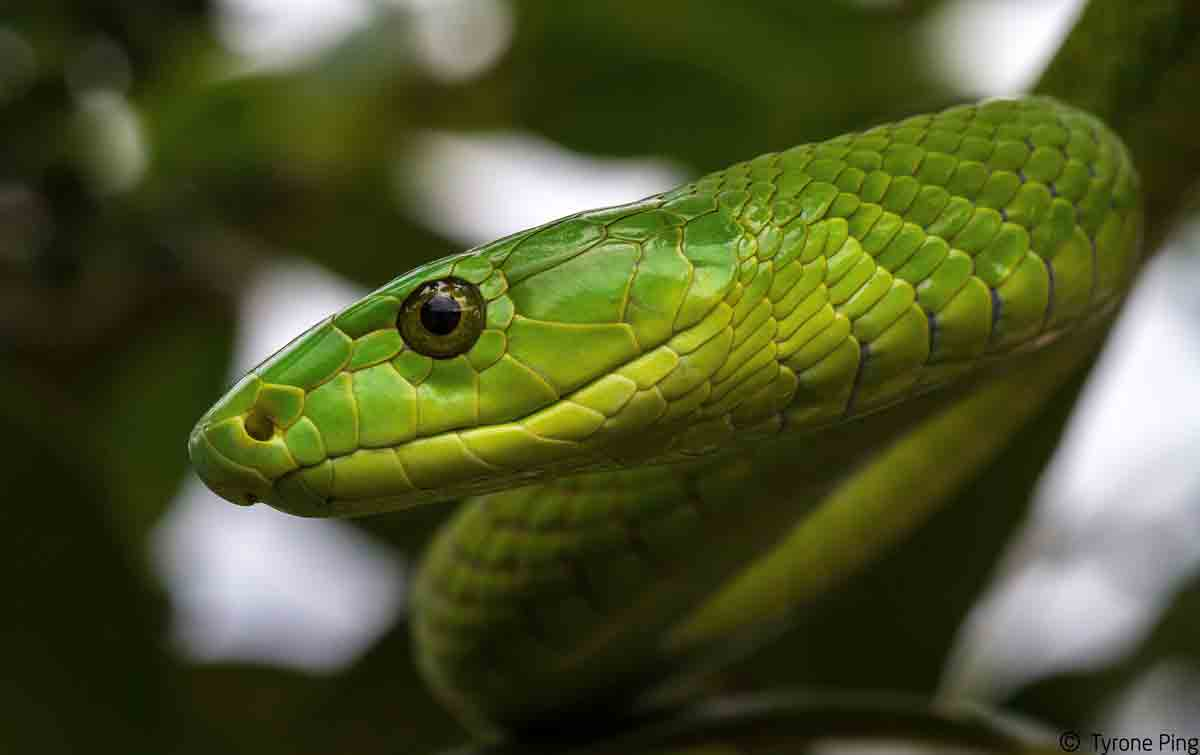 Eastern Green Mamba High Quality Background on Wallpapers Vista