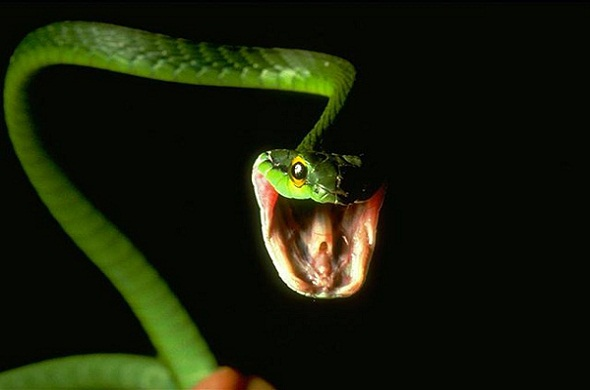 High Resolution Wallpaper | Eastern Green Mamba 590x390 px