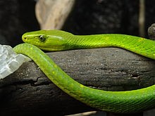 Eastern Green Mamba Backgrounds, Compatible - PC, Mobile, Gadgets| 220x165 px