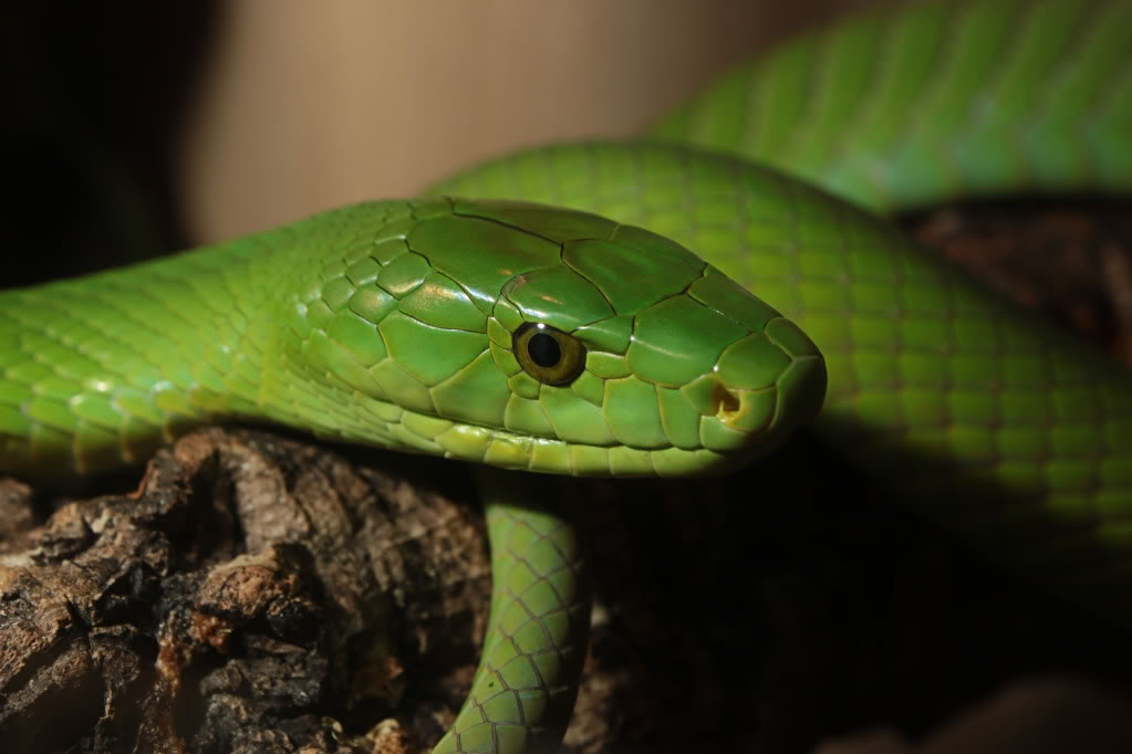 High Resolution Wallpaper | Eastern Green Mamba 1023x682 px