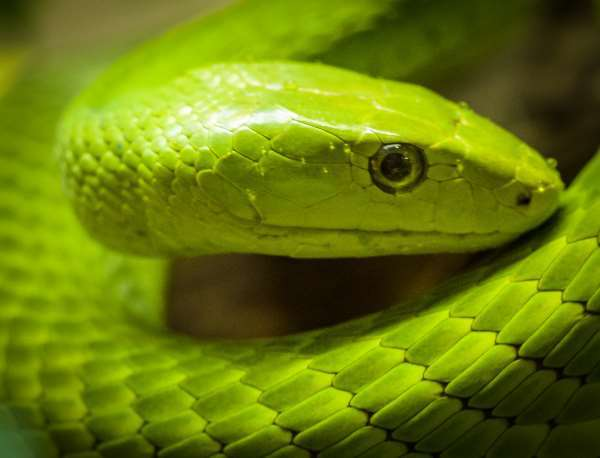 Nice wallpapers Eastern Green Mamba 600x458px