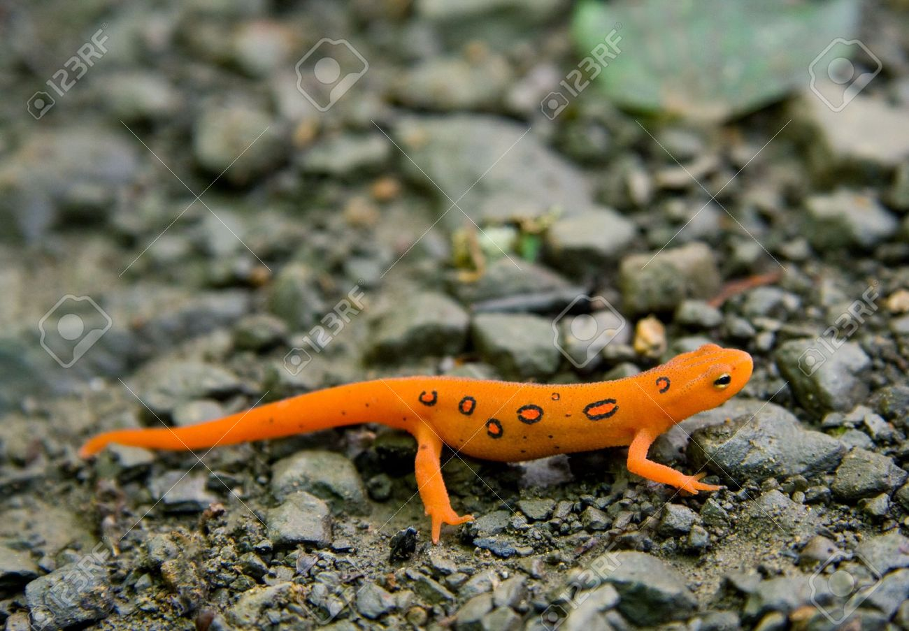 Eastern Newt  High Quality Background on Wallpapers Vista