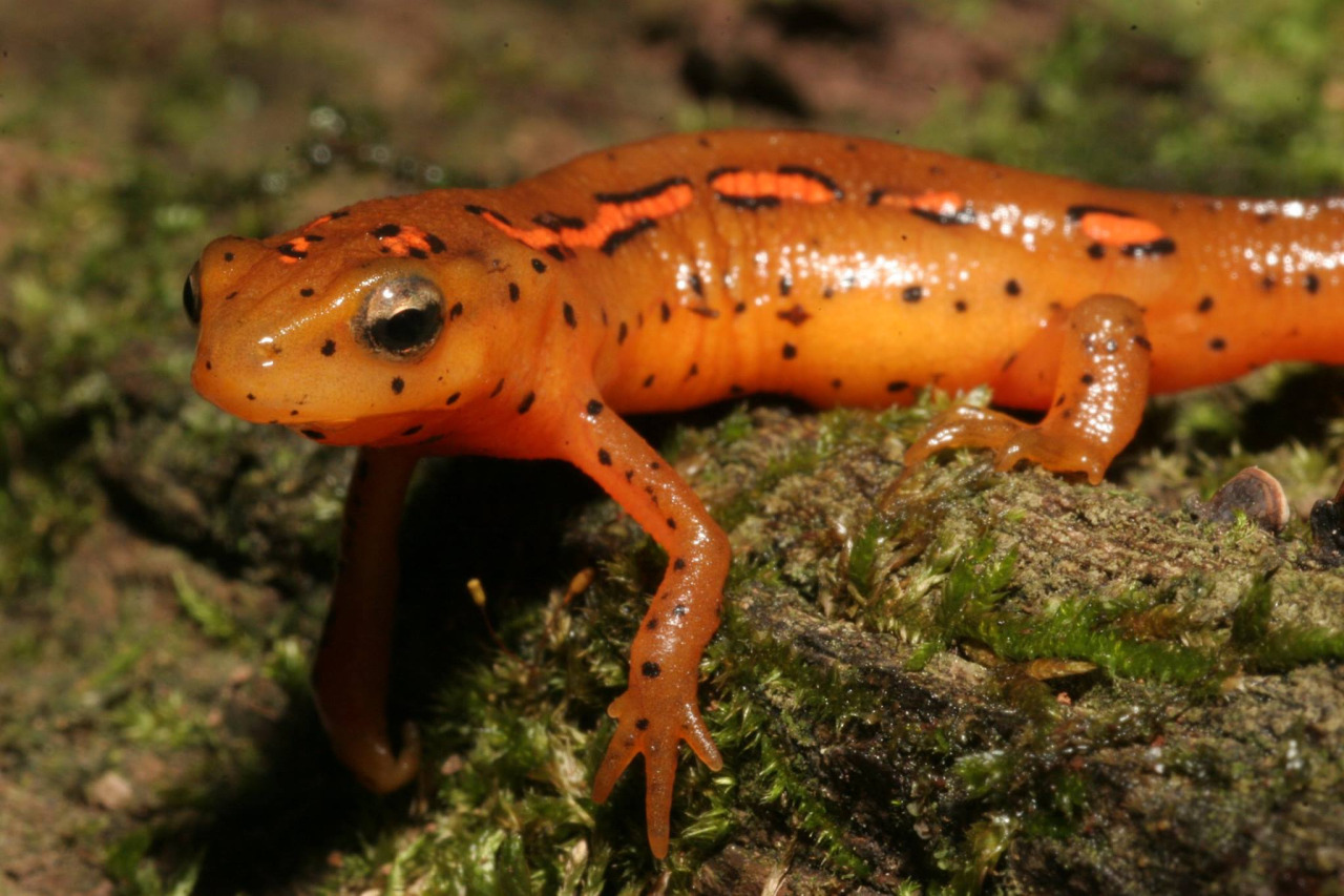High Resolution Wallpaper | Eastern Newt  1280x853 px