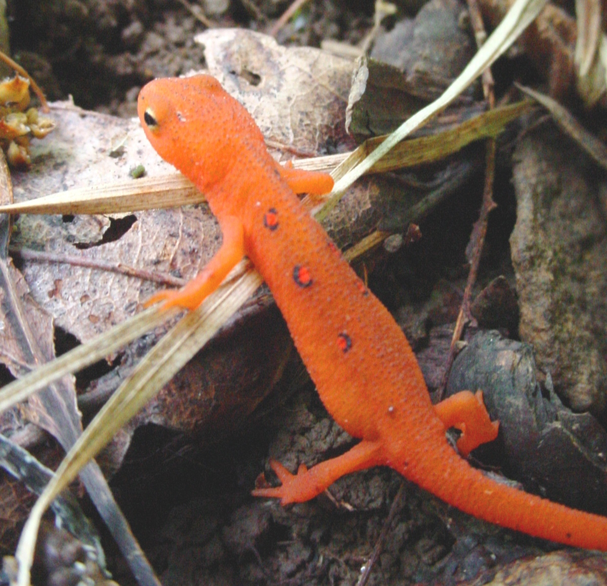 1200x1158 > Eastern Newt  Wallpapers