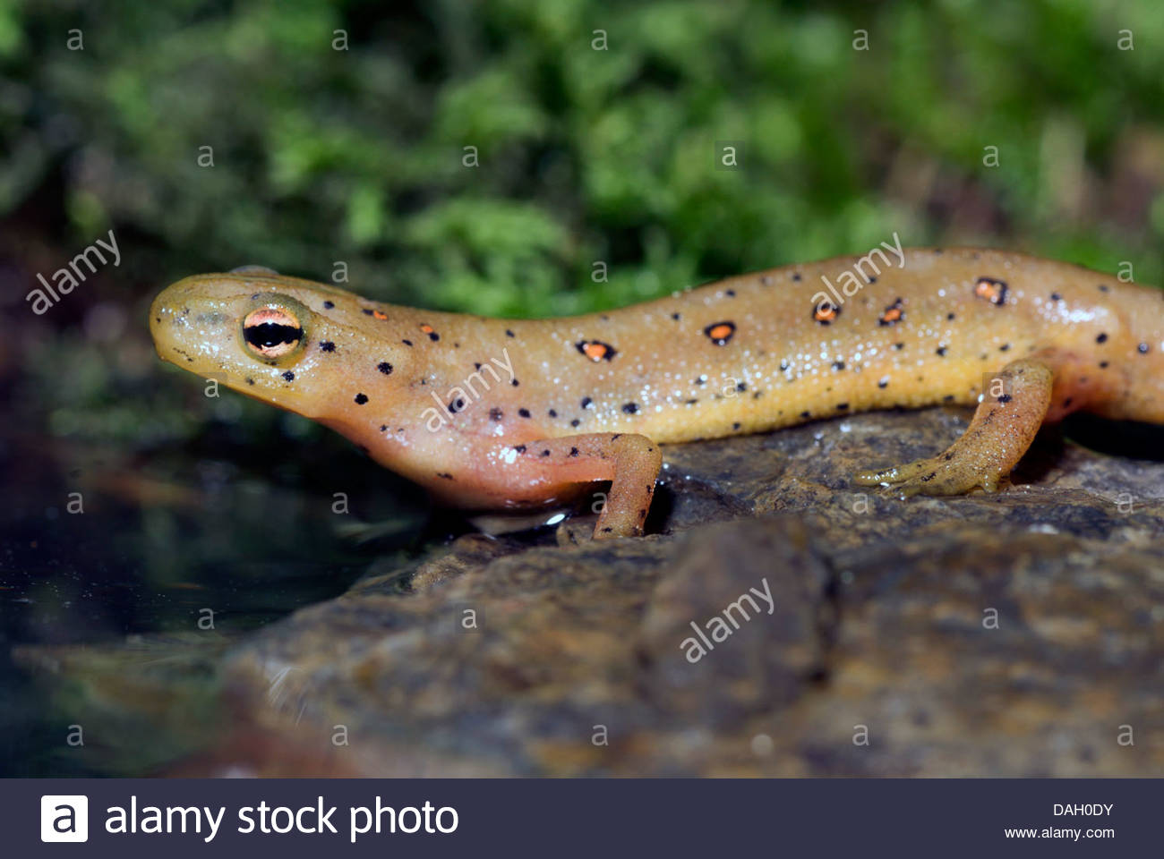 HD Quality Wallpaper | Collection: Animal, 1300x960 Eastern Newt