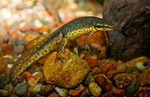 Eastern Newt  Backgrounds, Compatible - PC, Mobile, Gadgets| 220x142 px