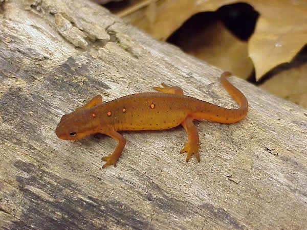 High Resolution Wallpaper | Eastern Newt  600x450 px