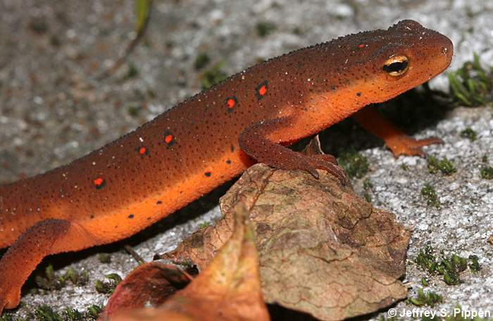 700x456 > Eastern Newt  Wallpapers