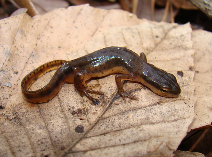 HD Quality Wallpaper | Collection: Animal, 710x526 Eastern Newt