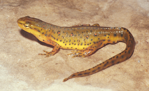 High Resolution Wallpaper | Eastern Newt  300x183 px